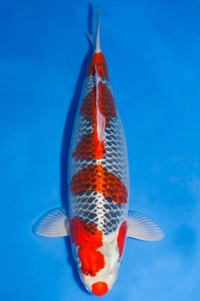 130 best images about koi name on pinterest the head for Artificial koi fish