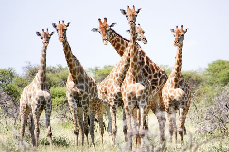 Giraffe Pictures: Giraffe Habitat and Range