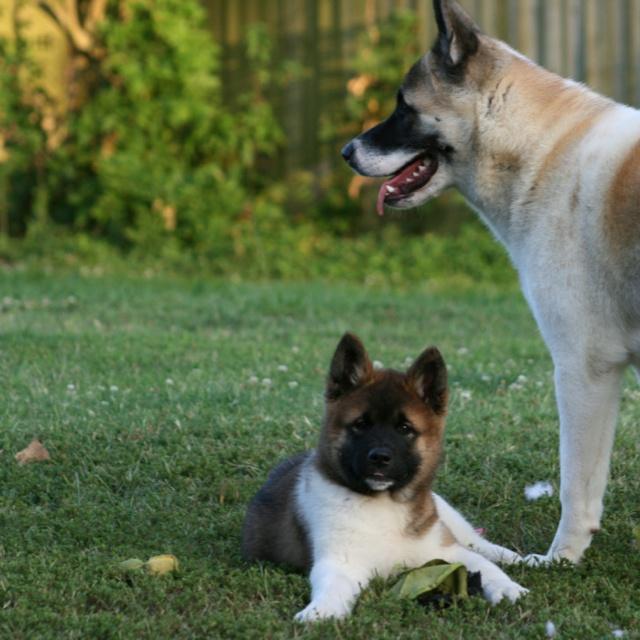 Akita and Akita puppy.  Leia & Gunner.
