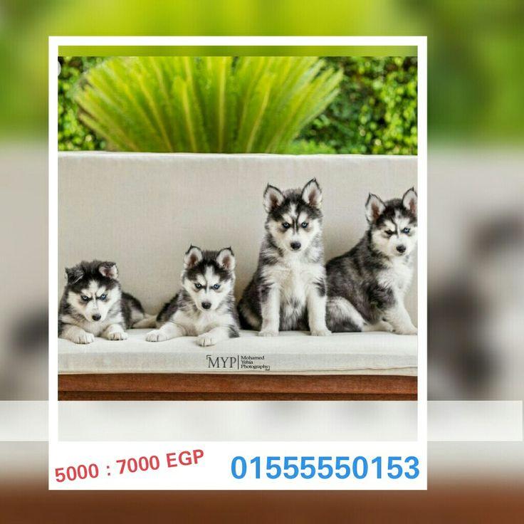 مصر القاهرة الجديدة 50 Day Old Siberian Husky Puppies Males And
