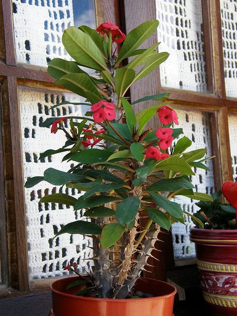 Crown of Thorns loves to go outside in area that gets morning sun when weather warms up. Easy care tips: https://www.houseplant411.com/houseplant/crown-of-thorns-plant-how-to-grow-care