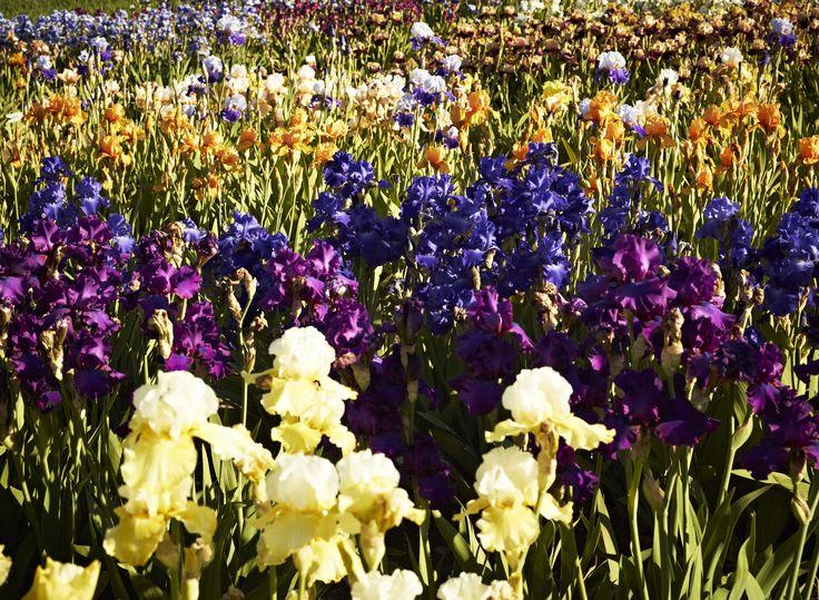 Une marée d'iris de toutes les couleurs (2011)