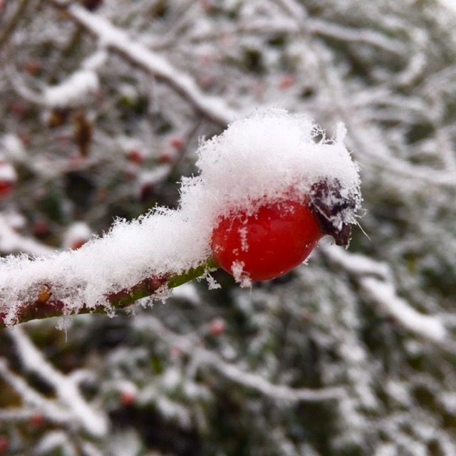 Snow berry. By Alison Chambers.