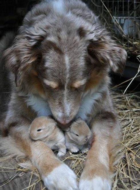 dog taking care of baby bunnies