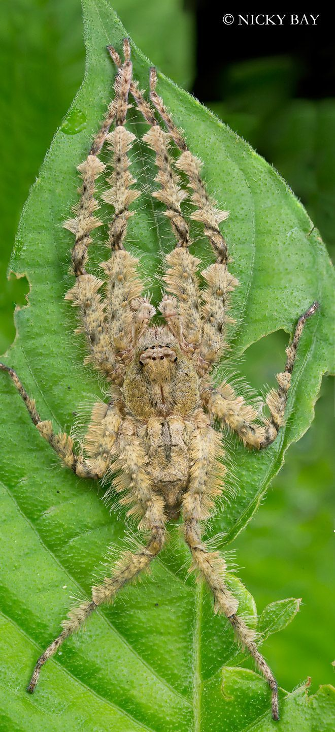Lichen Huntsman Spider (Pandercetes sp.), Singapore. Have never seen any of these spiders--thank goodness!