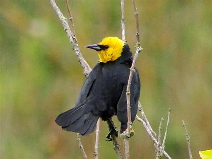 Yellow-hooded Blackbird: Winged Beauties, Critter Friends, Beautiful Birds, Bird Houses, Amazing Animals, Yellow Hooded Blackbird