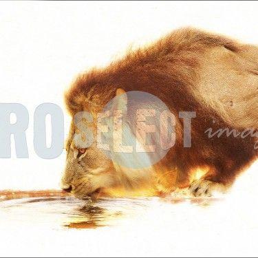 Lion drinking water. (Panthera leo)