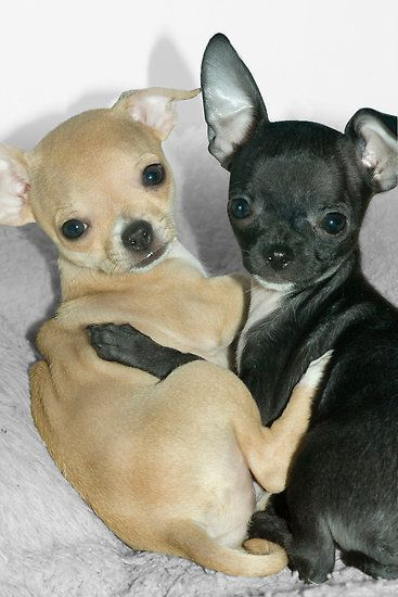 """Chummy Chihuahuas"" - Looks like Puppy Love by John #Chihuahua"