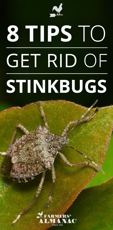 e4697bf2fd44fa5b4edce4cf0b649537 - How To Get Rid Of Stink Bugs At Home