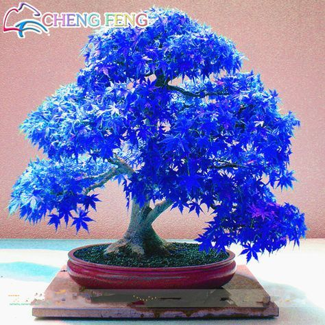 50pcs/bag Bonsai Blue Maple Tree Seeds Rare Japanese Sky Blue Maple Seed Bonsai Balcony Plants For Home Garden Free Shipping