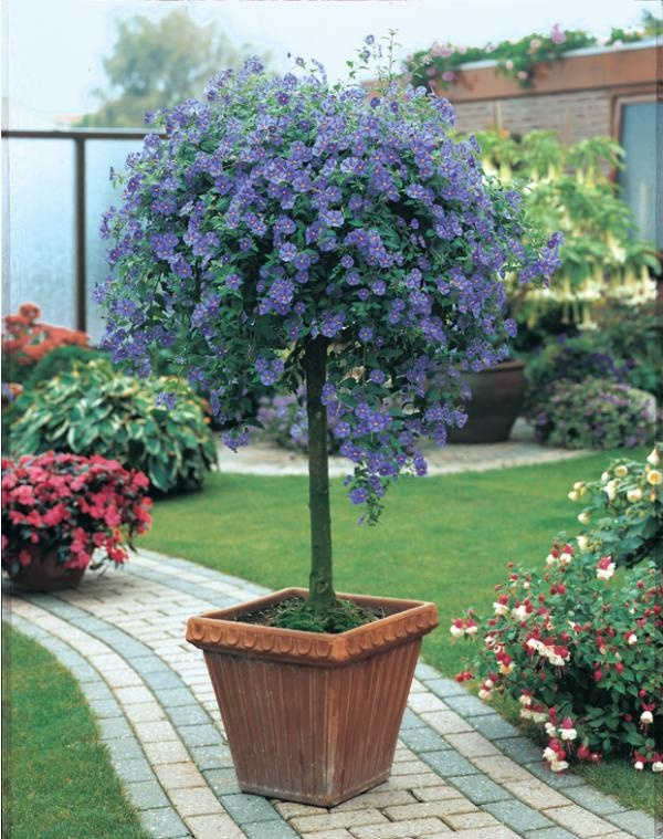 Arbre aux gentianes (Solanum rantonnetii) Feuillage semi-persistant. Culture très facile au soleil, en pot ou en pleine terre.