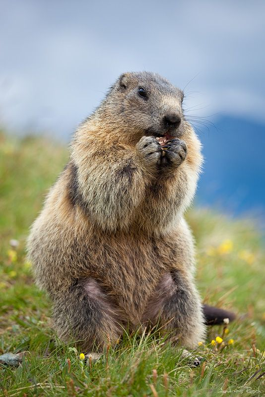 """Marmot - 02"" by AndreasResch.deviantart.com"