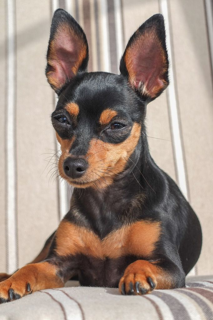 Miniature Pinscher Mirka                                                                                                                                                      More
