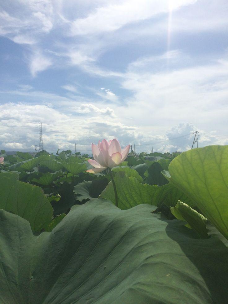れんこんの花☻
