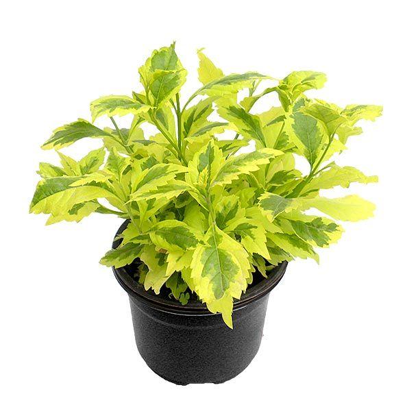 Duranta gold planta de sol riego 3 veces por semana for Matas de jardin