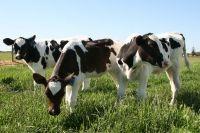 Harvey Fresh Free Range Cows, Western Australia #FreeRange #HarveyFresh