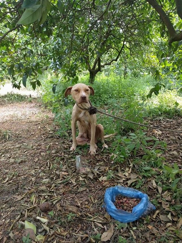Pit Bull Is Left To Die Chained To A Tree, Refuses To Stop Protecting Her Secret | About Family Pets