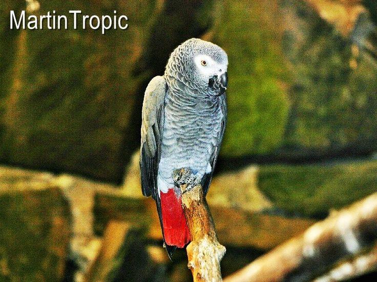 Yaco de Cola Roja Psittacus Erithacus Yaco. También conocido con el nombre de Loro gris africano o Loro gris de cola roja, éste ave habita en las selvas tropicales y sabanas africanas.