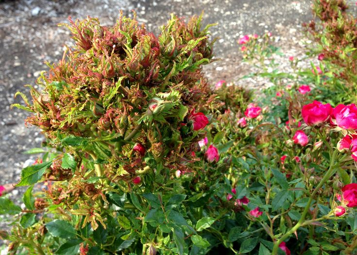 Clubby-growth-of-Rose-Rosette-Disease