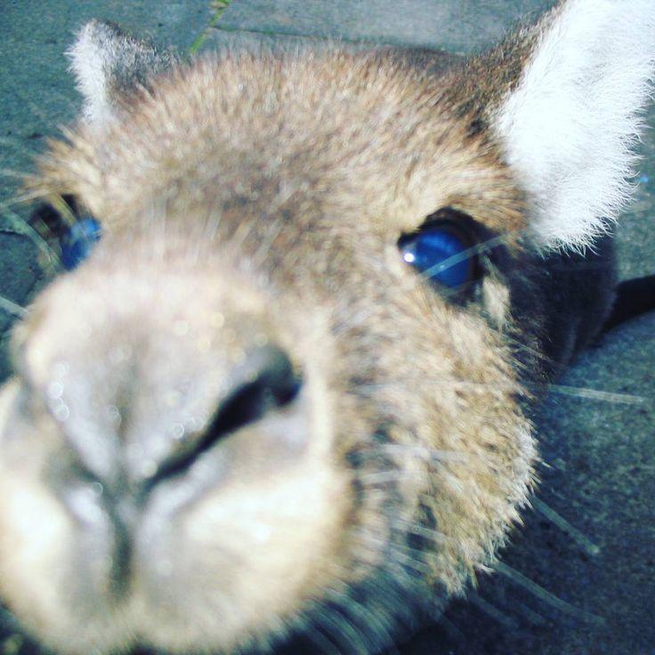 The wildlife in Australia is very friendly #cute #kangaroo #australia