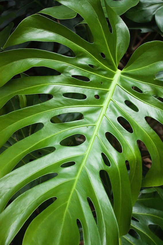 Split Leaf Philodendron Plant Leaves Plants Cool Plants