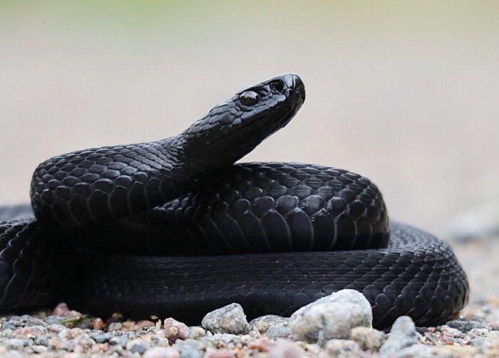 Musta kyykäärme Black (melanistic) adder