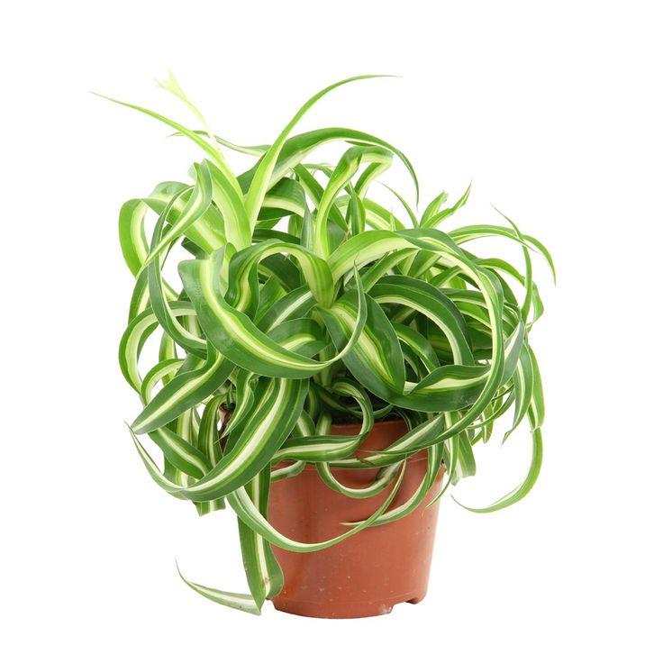 Les 25 meilleures id es concernant chlorophytum sur pinterest araign e des jardins plantes de - Araignee des jardins en 6 lettres ...