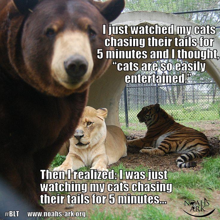 #blt #lion #tiger #bear #bffs www.noahs-ark.org #LOL #Meme ...