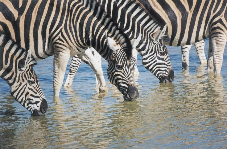 Madikwe Game Reserve lies on the edge of the Kalahari Desert, forty kilometers from the Botswana border and 90 kilometers north of the town of Zeerust in north west corridor of South Africa.