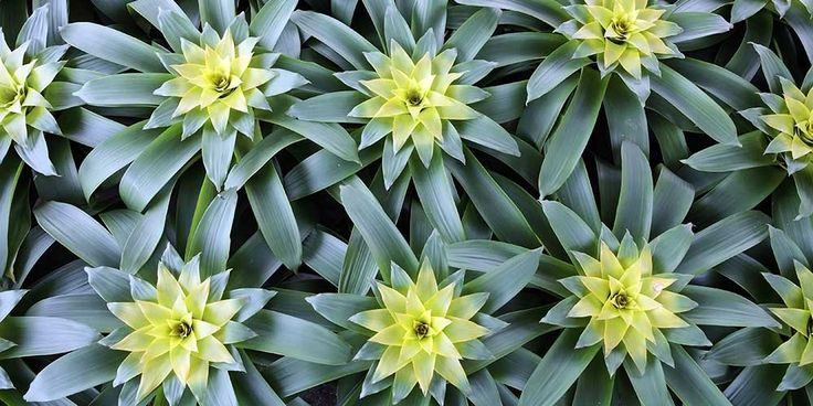 20 best images about love bromeliads on pinterest plants tropical gardens and flowers. Black Bedroom Furniture Sets. Home Design Ideas