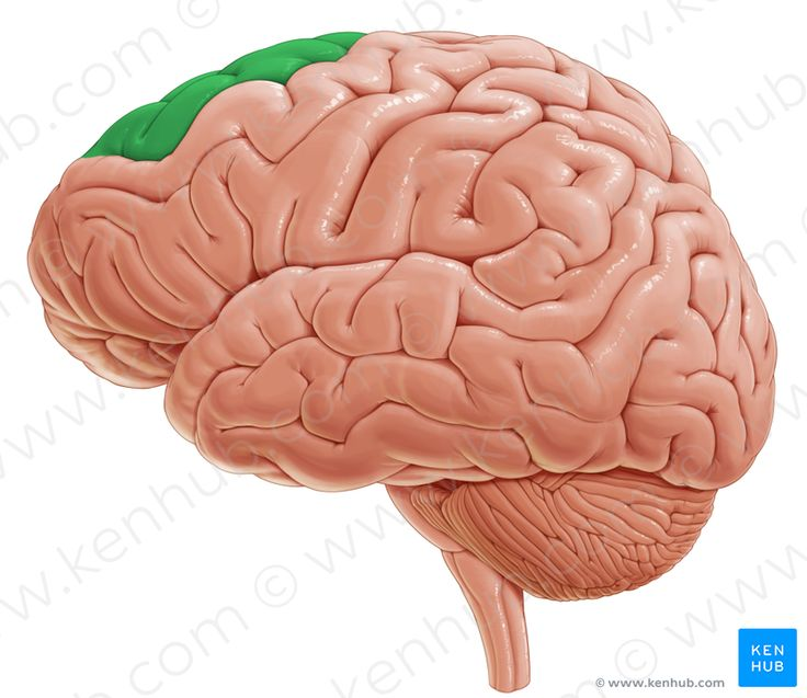 Superior frontal gyrus (верхняя лобная извилина)
