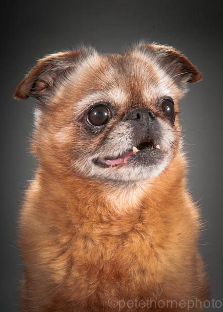 "Photographer on a quest to photograph senior dogs. ""Finnegan is a Brussels Griffon smooth coat or a Petit Brabançon. He has a red coat. He is 12.5 years old. He weighs 6 lbs and is small for his breed. When he lived in Montreal, he went by his French name: Finni le Poo. He has a heart murmur, and has had multiple teeth pulled, otherwise he is in great health for his age."""