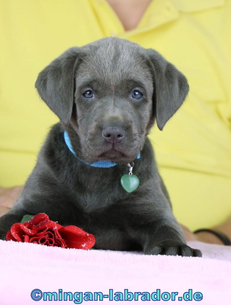 Mingan® Labrador Welpen in light Silber... (Kall) - Labrador - Deine-Tierwelt.de