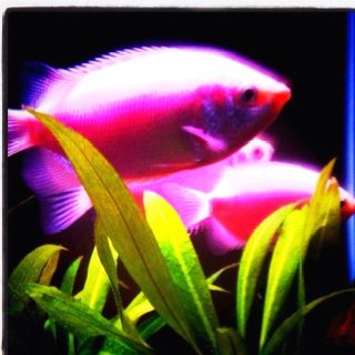 Pink kissing gouramis for Pink kissing fish