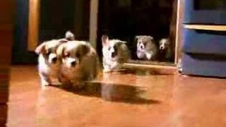 5 little welsh corgi pembroke puppies, via YouTube.