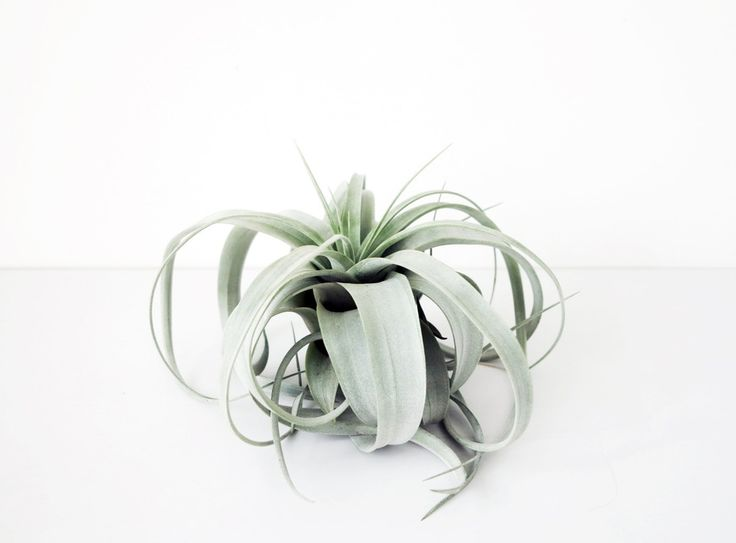 xerographica air plants - love these, especially framed within glass vessels