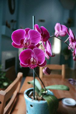 how to tell when it's time to repot your phalaenopdid orchid
