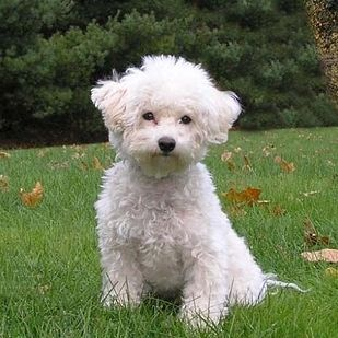 Good Cuby Chubby Adorable Dog - e46fda423b2f6f2df1e83bf085c94838--bichons-white-dogs  Collection_131513  .jpg