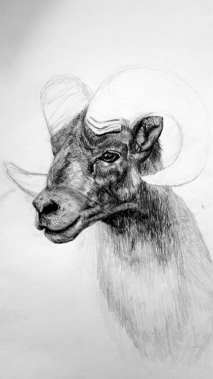 Goat drawing/unfinished