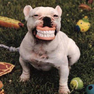 #PitBull #Terrier. Las estadísticas dicen que el 67% de las muertes por ataques de perros se debe a los perros de raza pit bull terrier. Es un perro de entre 25 y 30 kilos, de origen estadounidense, con una poderosa mandíbula; son de las razas más buscadas para la pelea de perros por su fuerza y ferocidad.