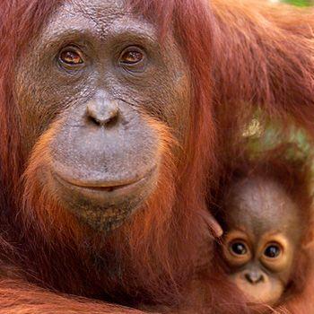 Porträt des Borneo-Orang-Utan im Artenlexikon des WWF mit Informationen zu Lebensraum, Verbreitung, Biologie und Bedrohung der Art.