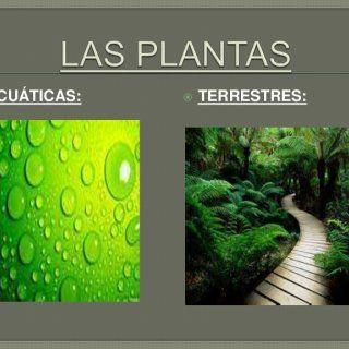  ACUÁTICAS:  TERRESTRES:    PLANTAS FLOTANTES: son aquellas que viven en la superficie del agua y flotan. Por ejemplo: - Lentejas de agua - Repollitos. http://slidehot.com/resources/powerpoint-las-plantas-acuaticas-y-terrestres.58996/