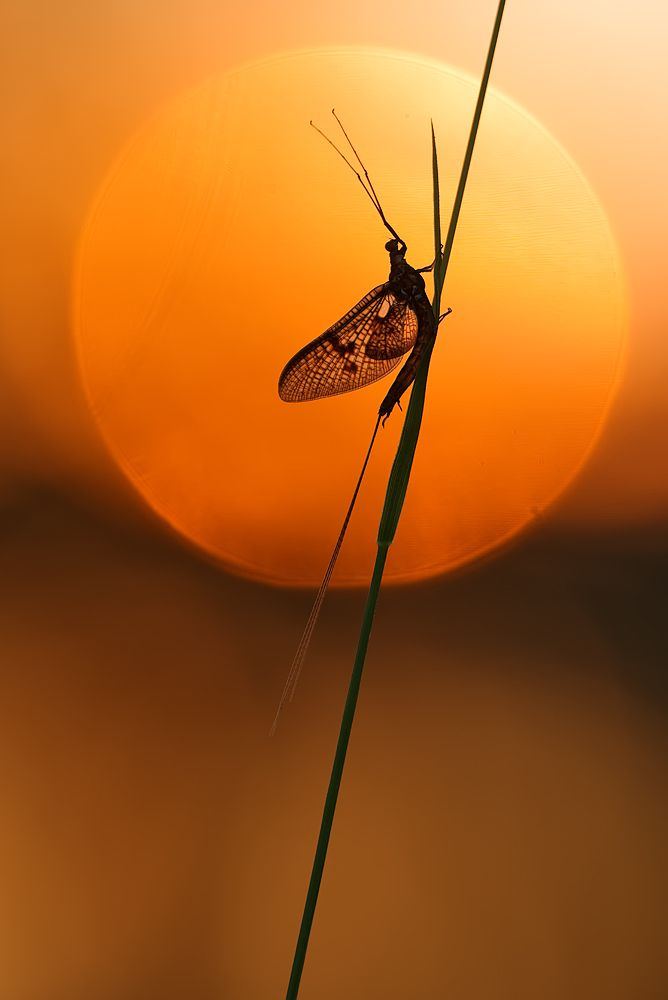 Mayfly Ephemeroptera fly flying insect insect macro sunset