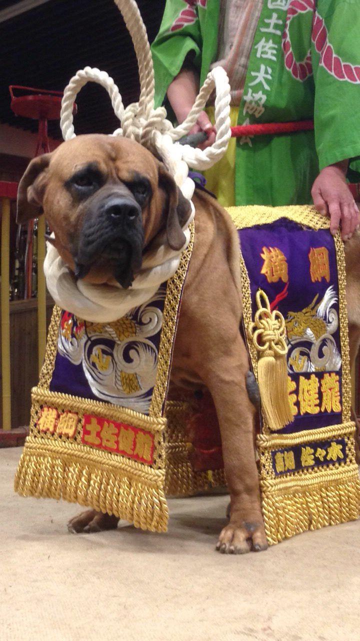 土佐犬 横綱 Tosa dog Grand champion