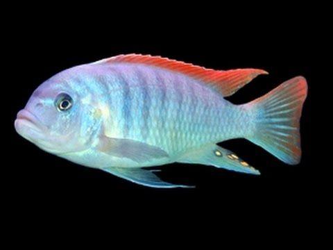аквариумная рыбка, Псевдотрофеус грешаки Pseudotropheus Greshakei