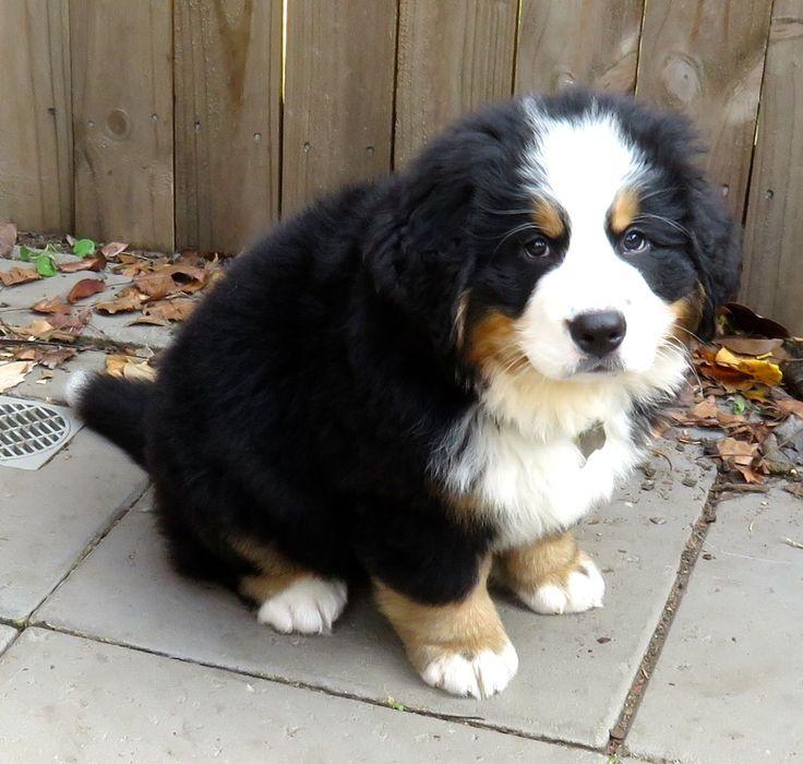 Cool Bernese Mountain Dog Chubby Adorable Dog - e471756d6b1531182c7f03e306bb6f35--bathroom-bernese-mountain-dogs  You Should Have_451397  .jpg