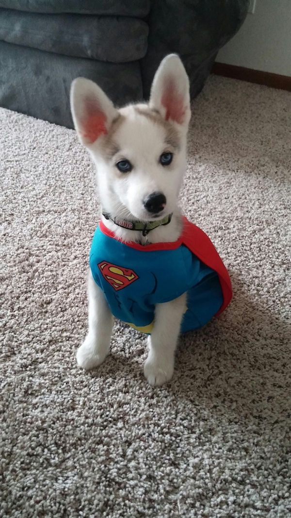 insolite chien chiot costume superman