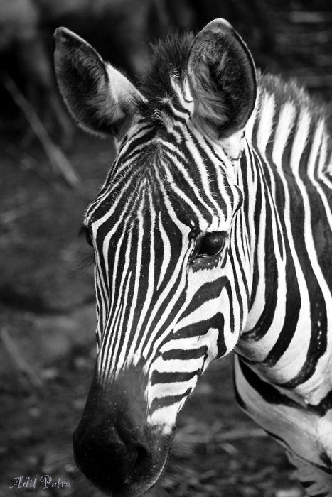 Zebra on BW: Shoots, Posts, Photography, Zebras