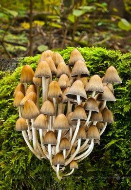 hnojník lesný/Coprinus silvaticus