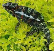 Diecisiete especies de serpientes se encuentran en el Bosque Caducifolio